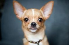 Named in honor of the state of Chihuahua in Mexico, the Chihuahua has the prestige of being the smallest breed of dog in the world. One of the most popular breeds around the world, the Chihuahua – … Best Dog Food, Best Dogs, Little Dogs, I Love Dogs, Cute Dogs, Funny Dogs, Low Maintenance Dog Breeds, Dog Calendar, Calendar 2018