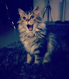 This fluffster who is so damn stoked. | 26 Smiling Kitties Who Want To Remind…