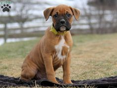 Beautiful, animated and playful. Boxers make great companions! Check out the latest arrivals at Greenfield Puppies.