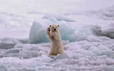 Photos Polar Bear - صور الدب القطبي http://www.imageslove.cc/2015/02/Polar-bears-photos32.html