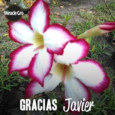 ¡Muchas gracias, Javier Amabilia! Por compartirnos la flor del desierto que cultivaste con la ayuda de Miracle Gro.