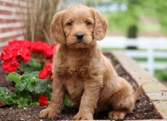 This joyful Mini Labradoodle puppy is so sweet that you will instantly fall in love with him. Mini Labradoodle Puppy, Labradoodle Puppies For Sale, Chihuahua Puppies For Sale, Puppies Puppies, Dogs For Sale, Goldendoodle, Mini Labrador Retriever, Retriever Puppy, Miniature Australian Labradoodle