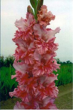 forevver yours gladiolus | Hartline'2011)(363) 86 days (Bryanne Nicole X Hot Pink)