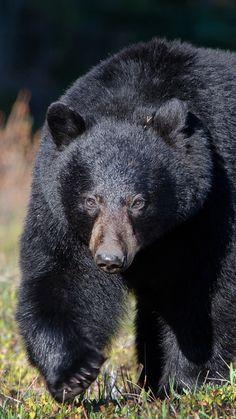 bear, grass, huge, walk