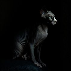 Sphynx Cat: a hairless, furless cat, with stunning clear auqua eyes ! !