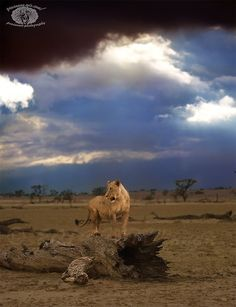 (via 500px / Kgalagadi lion by Peter Winnan)