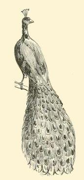 Vintage Peacock Drawing