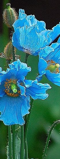 blue poppies