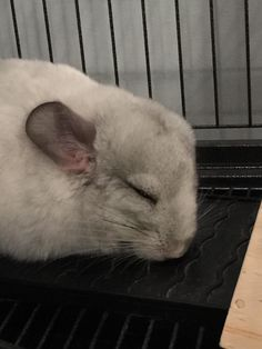 Worn out after the first day in his new home! Meet Maxinkuckee Reddit! #aww #cute #chinchilla #chinnies #chinchillasofpinterest #cuddle #fluffy #animals #pets #bestfriend #boopthesnoot #itssofluffy #rodents