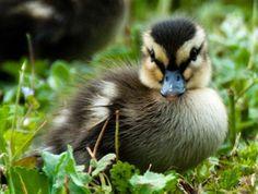 Cute Duckling.