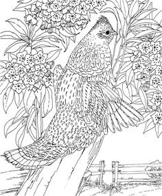 Free Printable Coloring Page...Pennsylvania State Bird and Flower, Ruffed Grouse, Mountain Laurel, educational printables