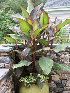 13 Best Canna Lily Containers Images Canna Lily Plants 400 x 300