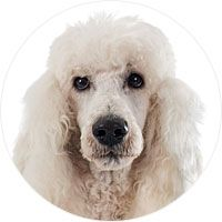 Learn All About The Poodle Breed History Stats Health More