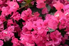 #engicards #bourgainvillea #pink #messagefromtheuniverse