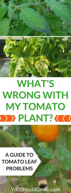 """Why are your tomato's leaves yellow, spotty, or wilted? Homegrown tomatoes can suffer from a variety of pest and disease issues. If you're wondering, """"What's wrong with my tomato plant?"""" Use this guide to tomato leaf problems to figure out what's wrong and what you can do about it. via @whippoorwillgar"""