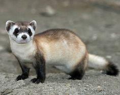 The black-footed ferret. The species declined throughout the 20th century, primarily as result of a decrease in prairie dogs — the ferrets' main prey — which were exteriminated as agricultural pests. In 1979, black-footed ferrets were declared extinct, but in 1981, Lucille Hogg's dog brought a dead one back to their Wyoming home, and scientists scrambled to find more, eventually locating a colony of 61 ferrets. About 1,000 of the animals are now thought to live across the central U.S.