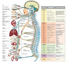 Relatie klachten en organen. This chart gives you a great idea of how important the spine is in overall health. The nerves exit out of the spinal cord and the peripheral nervous system feeds the entire body. When there's stress on the spine from tensed up muscles, there is a certain amount of compression on the spinal vertebra - which may disrupt the nervous system pathways. Nederlandse uitleg over body stress en de gevolgen op ons zenuwgestel. Klik op de foto.