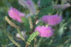 Wait A Minute Bush at Desert Botanical Garden by desertbotanicalgarden, via Flickr