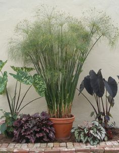 Paper Plant (Cyperus papyrus) from Logee's