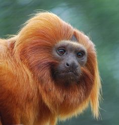 Golden Lion Tamarin Monkey by 10000 wishes Big Animals, Animals Of The World, Animals And Pets, Animal Faces, Adorable Animals, Golden Lion Tamarin, Animal Movement, Animal Magic, All Gods Creatures