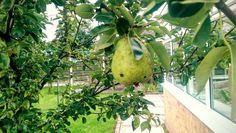 August 30th-Pear