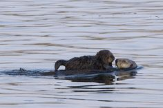 Sea otters, photo by Mike Baird (One of the many reasons that I enjoy the inner shore and its tidal pools and kelp beds. McC)