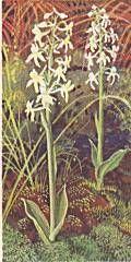 Nattviol (Platanthera Bifolia) Lesser Butterfly Orchid Pg Tips, Wild Orchid, Series 3, Wild Flowers, Orchids, Butterfly, Garden, Plants, Garten