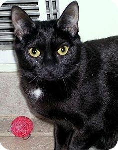 Pictures of Libby a Domestic Shorthair for adoption in Fairfax Station, VA who needs a loving home.