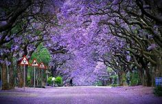 Jacaranda trees in bloom, Pretoria, South Africa. When I lived there I remember the whole city looking like this in season. Pretoria is known as Jacaranda city. World's Most Beautiful, Beautiful World, Beautiful Places, Trees Beautiful, The Places Youll Go, Places To See, Places To Travel, Sequoia National Park, Pretoria