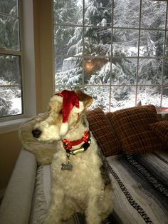 Portia dressed for the holidays! Fox Terriers, Wire Fox Terrier, Fabulous Fox, Pet Fox, Christmas Fashion, Vintage Pictures, My Animal, Cinnamon, Holidays