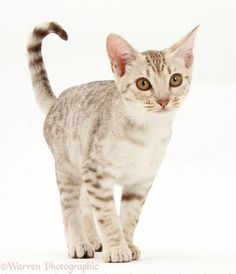 Photograph of Ocicat kitten. Beautiful Cat Breeds, Beautiful Cats, Pretty Cats, Cute Cats, Baby Animals, Cute Animals, Ocicat, Cat Anatomy, Mean Cat
