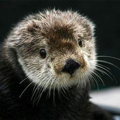 Photo by montereybayaquarium Gidget the sea otter.