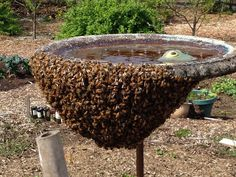 Why do bees swarm and what can you do about it?