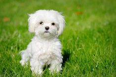 The Bichon Frise is a cheerful, small dog breed with a love of mischief and a lot of love to give. With his black eyes and fluffy white coat, the Bichon looks almost like a child's toy.America's top dog is a bichon frise. Top 10 Dog Breeds, Tiny Dog Breeds, Dog Breeds That Dont Shed, Best Dog Breeds, Small Breed, Puppies That Dont Shed, Maltese Dog Breed, Maltese Puppies For Sale, Cute Puppies