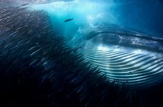 A whale of a mouthful, Michael AW, Australia. Underwater, WINNER. - Winners of the 2015 Wildlife Photographer of the Year