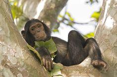 Young #chimpanzee relaxing in a tree, wildlife shot, Gombe / #Tanzania \ guenterguni