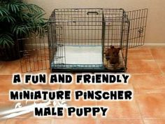 Potty Training a Puppy? We have a Fast & Easy solution! Over 50,000 dogs have been successfully potty trained. Watch our FREE video. Click here for more details: ModernPuppies.com