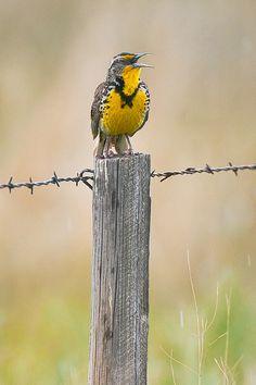 Western Meadowlark Singing in the Nebraska Sandhills by Lee Rentz, via Flickr