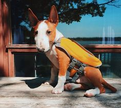 """""""Thanks for the life vest, Hoomins!"""" (my Bully Raven, not the one pictured here, can't swim a lick, not ev'ry Bully can swim or swim well! don't forget a life vest!)"""