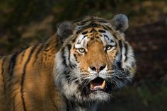 Coto, le tigre de Sibérie du Zoo de Zurich est mort