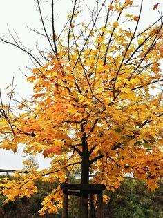Der goldene Herbst  #Baum #golden #Herbst #iPhoneographie #Phoneography #Smartphonephotography