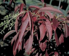 Sourwood is a tree that is criminally underused in landscapes. Its new leaves are a light, lustrous green turning to a deep green as they mature. In early fall, the leaves turn yellow, orange, and scarlet red. During the summer, its long, drooping, fragrant flowers appear and persist for three to four weeks.
