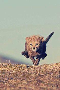 Baby cheetah running.
