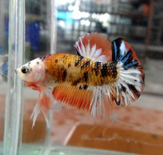 I dont think Ive ever seen a calico betta before! Pretty Fish, Beautiful Fish, Freshwater Aquarium, Aquarium Fish, Koi Betta, Salt Water Fish, Beta Fish, Siamese Fighting Fish, Exotic Fish