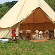 Does it even get any cuter than this band of puppies lined up under a tent on their camping trip?!