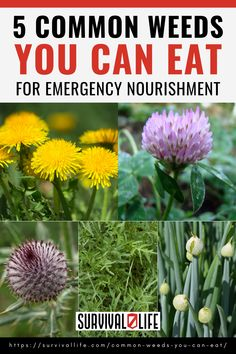 Many of the weeds you can eat can be found right in your yard, around your driveway, beside roads, etc. We'll be talking about 5 common weeds that are edible in this article. #edibleweeds #survivalfood #survival #preparedness #survivallife Survival Life, Survival Food, Wilderness Survival, Survival Prepping, Emergency Preparedness, Survival Skills, Outdoor Shelters, End Of Days, Edible Plants