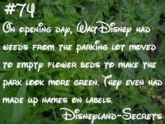 On opening day, Walt Disney had weeds from the parking lot moved to empty flower beds to make the park look more green. They even had made up names on labels. How's that for Disneyland horticulture? Disney Land Facts, Disney Princess Facts, Disney Memes, Disney Quotes, Disney Surprise, Disney Trips, Disney Love, Disney Magic, Walt Disney