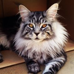 "Maine Coon.  Coon cat. Beautiful but rather mysterious. .this ""kitty"" has fur around her neck area, Doesn't she resemble the early ""Queens"" of England? Markings - lovely! !"