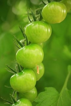 No freezing weather this year means my tomato plants are already in bloom and getting ready to go. Fried Green Tomato BLT's, here we come! Go Green, Green Grass, Green Colors, Fresh Green, World Of Color, Color Of Life, Couleur Chartreuse, Fried Green Tomatoes, Spring Green