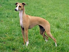Italian Greyhound Dog Breed Information Cutest Small Dog Breeds, Lazy Dog Breeds, Cute Small Dogs, Cute Dogs Breeds, Large Dogs, Wheaten Terrier, Fox Terrier, Boston Terrier, Miniature Italian Greyhound